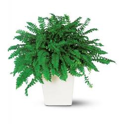 Decorative Fern
