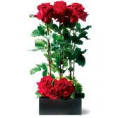 Scarlet Splendor Roses